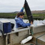 Colleen counts oysters with oyster culture in the background