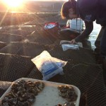 Colleen Burge counts oysters on a fine morning