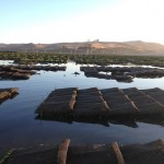 Oyster rack and bag culture in Tomales Bay