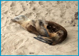 "California sea lion Grazer demonstrating the ""Lepto Pose"" at the time of his rescue."