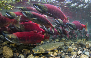 Migrating sockeye salmon.