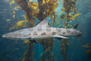 A leopard shark swimming through the Kelp Forests of San Francisco Bay.