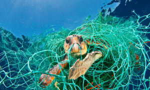 A sea turtle caught in fishing nets